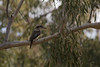 Laughing Kookaburra (Dacelo Novaeguineae) (Malcom Lang) Tags: kookaburra dacelo novaeguineae bird beak feathers aussie icon tree branch leaves sticks green single one wings wood forest dry eucalyptus canoneos6d canon canon6d canonef canon100400 mal lang photography southaustralia southern south southernaustralia australia australian nature natural native