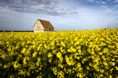 Blue and Yellow (aveyardphotography) Tags: blue sky yellow rapeseed canola bright daylight old stone building farm farmland landscape nature north yorkshire appleton le street malton england uk british crop