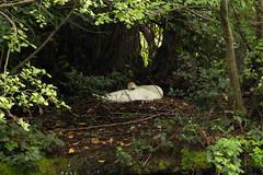 Nesting swan (Graham Dash) Tags: muteswans painshill birdnests birds nests swans 2017pad