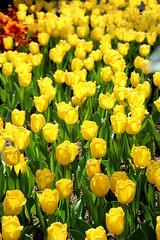 Gelbe Tulpen (Yukkuriko) Tags: singapur singapore bearbeitet gardensbythebay tulipmania tulpen tulips flowerdome gelb yellow 黄色 blumen 花 blüten flowers explore