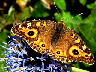 EYESPOTS on a Butterfly.....Macro Mondays