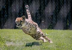 Banking Right (montusurf) Tags: cheetah predator cat feline speed fast run angle turn chase hunt cincinnati zoo ohio