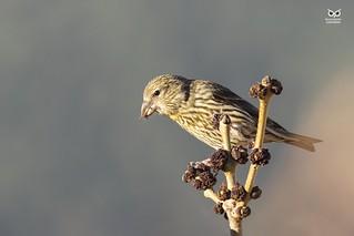 Cruza-bico, Common crossbill (Loxia curvirostra