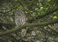 Barred Owl - Strix varia (Freshairphotography) Tags: barredowl owl youngowl victoria victoriabc wildbird raptor vancouverisland birdsofprey explore explored