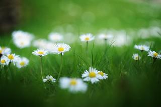 Daysies photobombing my shot of green grass