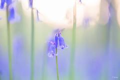 Hyacinth at sunrise (Fab Boone Photo) Tags: macro flower beautiful close nature purple bleu color colors fabienboone fabboone