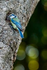 09_PeupleDeLair_1005 (darry@darryphotos.com) Tags: 7020028 animaux cyanistescaeruleus deuxsevres melle melle79 nikon oiseau paruscaeruleus animal bird mesangebleue nichée nourrissage oiseaux oiseauxdujardin ornithologie