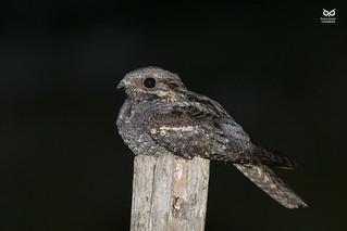 Noitibó da Europa, European nightjar(Caprimulgus europaeus)