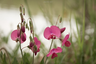 Acquaintance with new species in thracian flora IV : Wild pink orchid