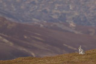 Mountain Hare - In-between