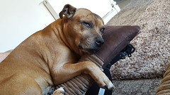 Chillin... (thorburns) Tags: thor dog staffie ginger staffy pet myboy furbaby cute loved cheeky thatlook