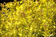 (JSB PHOTOGRAPHS) Tags: d2x226300011 leaves yellow bokehlicious bokeh altonbakerpark eugeneoregon nikon d2x 18300mm backlit