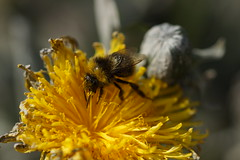 Busy Bee (steve_whitmarsh) Tags: closeup macro animal nature insect bee flower dandelion yellow wildlife