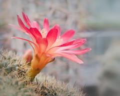 glowing cactus flower (teknoec) Tags: cactus flower sulcorebutia macro closeup bokeh botanic garden szeged dof