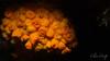 Astroides calycularis, cup coral, in camp bay gibraltar (clivecrisp) Tags: lovescience scientificresearch scientificdiving campbay indicator waterquality climatechange astroidescalycularis coral em10 nauticam inon gibraltar underwaterphoto underwaterphotography olympus