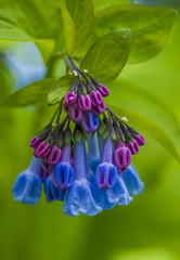 Virginia Bluebells (Bernie Kasper (2,000,000 views)) Tags: art berniekasper blue cliftyfallsstatepark cliftyfalls color d600 digital flower family floral flowers green hiking indiana indianawildflowers light leaf leaves love madisonindiana macro madisonindianacliftyfallsstatepark madison nature nikon naturephotography new outdoors outdoor old outside photography park plants raw spring sigma travel trail wildflower wildflowers virginiabluebells vivid virginiabluebell flickrfriday