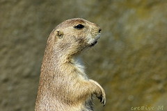 op de uitkijk (cre8ive-M) Tags: prairiehond grondeekhoorn amerikaansemarmot blijdorp zoo rotterdam