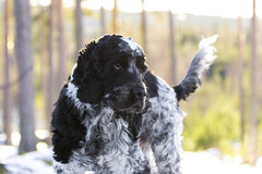 #dog #cockerspaniel #sweden (anderswiik2) Tags: cockerspaniel sweden