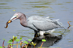 LITTLE BLUE HERON (concep1941) Tags: birds heronfamily swamps rivers ponds nature meadows stickmarsh stjohnco