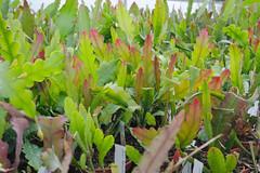_DSC0075.ppm (nitedojo) Tags: nitedojo kakteenhaage openday epiphyllum