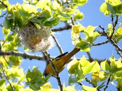 Baltimore orioles building nest (spotodog) Tags: birds nests baltimoreorioles