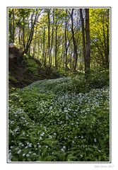 Down in The Woods (Seven_Wishes) Tags: newcastleupontyne watergateforestpark gateshead outdoor photoborder canoneos5dmarkiv canonef24105mmf4lisii nature landscape floraandfauna wildgarlic lensflare woodland forest trees plants spring