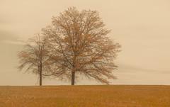 Stuck in fall... (Coisroux) Tags: softness haze trees nature traversebay traversecity michigan seasons umbers serene atmospheric distant d5500 nikond luminescence details golden foggy