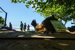 Kaui 261 DSC03816 (cpburt) Tags: kauai hawaii napalicoast kalalautrail rooster beach keebeach