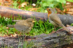 Robin and Son (eric robb niven) Tags: ericrobbniven scotland robin wildlife wildbird nature tentsmuir springwatch