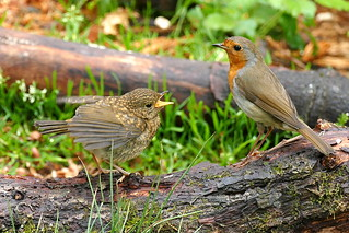 Robin and Son