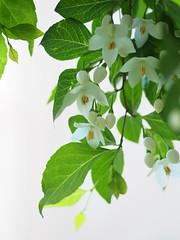 エゴノキ (Polotaro) Tags: mzuikodigital45mmf18 flower nature olympus epm2 pen 花 自然 オリンパス ペン エゴノキ 5月