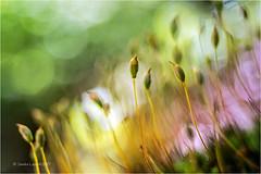 Small World (Sandra Lipproß) Tags: moss sporophytes moos sporophyten bokeh vintagelens meyergörlitz trioplan50mm forest wald nahaufnahme macro sandralippross manuallens nature natur