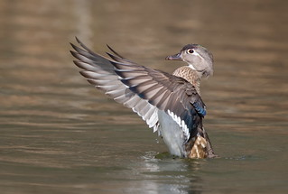 Wood duck hen wing flap
