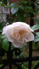 20170517_084132 (Carol B London) Tags: sgc flowers floral stepney stepneygreencourt stepneygreen e1 londone1 flowering bushes residentgarden gardens ids