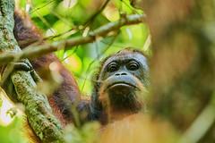 BO1_7589 (lucvanderbiest) Tags: orangoetang borneo maleisië sabah danumvalleywildlifereserve