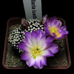 Mammillaria luethyi '218' (Pequenos Electrodomésticos) Tags: cactus cacto flower flor enxerto graft mammillaria mammillarialuethyi