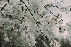 Blossoms like a gentle snow (linda.richtersz) Tags: canoneos100d 35mm lens f14 spring blossom flowers white