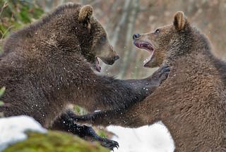 Bruine beer - Ursus arctos