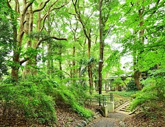「洋館を囲むクスノキの森(先週日曜撮影) ~市川市真間・木内ギャラリー」 Woods of the Camphor Trees in Kiuchi Gallery (Taken Last Sunday) Location: Mama,Ichikawa city,Chiba,Japan  おはようございます。 こないだの日曜、真間の木内ギャラリーでアンサンブルコンサートを鑑賞した後、周りの森を散歩してみました。  5/7に紹介した「真間山の切通し」の写真の説明でも書きましたが、かつてこの場所には明治~大正期