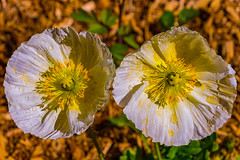 Poppies basking in the morning sun (jrnh51) Tags: spring2017 meredithnh flowercloseups