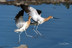 Yippee! (craig goettsch - out shooting) Tags: hendersonbirdviewingpreserve2017 bird avian americanavocet blue water nature wildlife nikon d500 600mm animals coth5