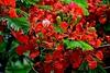 Royal Poinciana Flowers (bmasdeu) Tags: flamboyan royal poinciana flowers red waterdroplets rain tropical tree foliage