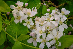 Blackberry Blooms After the Rain (Angela D Beck) Tags: nikon d750 outdoors flower nature bloom blackberry rain raindrop blossom green plant