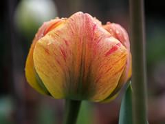 Orangefarbene Tulpe mit roten Streifen im Regen - Orange tulip with red stripes in the rain (riesebusch) Tags: berlin garten marzahn