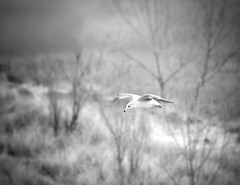 Soaring (mswan777) Tags: seagull flight beach dunes shore lake michigan nature outdoor monochrome black white wings fly nikon d5100 sigma 70300mm tree soar
