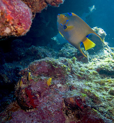 Queen angelfish (Jeff Mitton) Tags: queenangelfish coral sponge algae variableboringsponge crustosecorallinealgae guanaja honduras scuba earthnaturelife wondersofnature caribbeansea underwater marine tropical