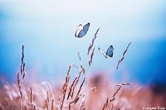 We are like butterflies (gusdiaz) Tags: photoshop photomanipulation digital digitalart composite nature field wheat butterfly butterflies beautiful naturaleza mariposas campo colorido colorful vsco