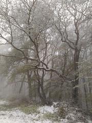 Hainbuche (shortscale) Tags: wald schnee baum hainbuche nebel
