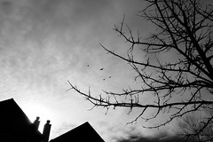 ...and they chased it right outta there (KevinIrvineChi) Tags: crow coopers hawk sky blackwhite bw bnw blackandwhite black white rooftops chimney tree lookingup clouds bluesky overhead spring 2017 chicago chicagoist sony dscrx100 sun sunny backlit backlighting noir blanco