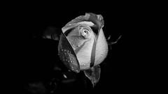 _DSC2801.jpg (massmanna) Tags: rosa rose flower flowers bw blackandwhite rugiada